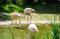 Flamingos na água no sol durante a refeição Fotografia de Stock