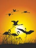 Flamingos na costa do lago no por do sol Imagens de Stock