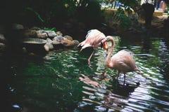 Flamingos na fonte Imagens de Stock Royalty Free