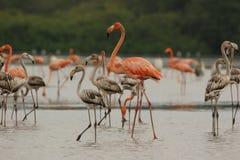 Flamingos na Venezuela da lagoa de Unare fotografia de stock royalty free