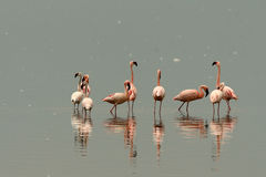 Flamingos of Nakuru lake Stock Photos