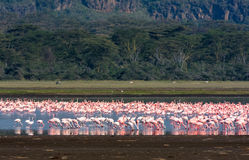flamingos Nakuru landskap Lake Nakuru Arkivfoton