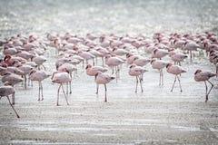 Flamingos Stock Image