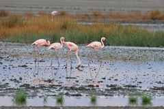 Flamingos at Natron Stock Image