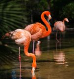 Flamingos in natural habitat Stock Images