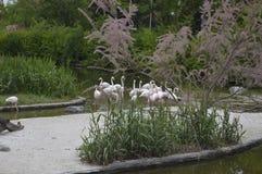 Flamingos 2. Flamingos on natural park Zoom Turin Stock Photos