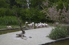 Flamingos. On natural park Zoom Turin Stock Photo