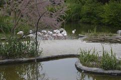 Flamingos 3. Flamingos  on natural park Zoom Turin Royalty Free Stock Photography