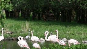 Flamingos nature wildlife stock footage