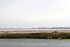Flamingos near Le Grau-du-Roi, Camargue, France stock photos