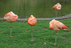 Flamingos near a pond. A flamingo with it's head tucked in sleeping Royalty Free Stock Photos