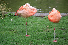 Flamingos near a pond. A flamingo with it's head tucked in sleeping Royalty Free Stock Images