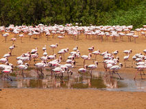 Flamingos near Walvis Bay Stock Images
