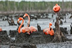 Flamingos on the nests Royalty Free Stock Photography