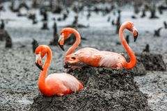Flamingos on the nests. American Flamingos or Caribbean flamingos Phoenicopterus ruber ruber. Colony of Flamingo on the nests. Rio Maximo, Camaguey, Cuba Royalty Free Stock Photography