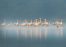 Flamingos nevoentos imagem de stock royalty free