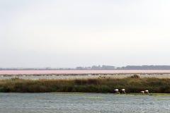 Flamingos nähern sich Le Grau-DU-ROI, Camargue, Frankreich Stockfotos