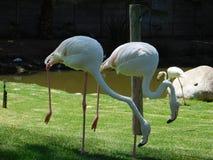 Flamingos no amor Fotos de Stock