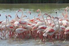 Flamingos no Camargue francês Imagens de Stock