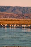 Flamingos no deserto de Atacama Fotografia de Stock