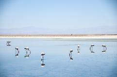 Flamingos no deserto de Atacama, Bolívia Imagem de Stock Royalty Free