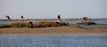 Flamingos no Etang de Vaccares, (a oeste de) Salin de Giraud, Arles (comuna), DPT de Bouche-du-Rhone (13), PACA Region, França Imagem de Stock