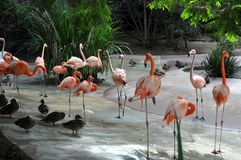 Flamingos no jardim zoológico de San Diego imagens de stock