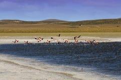 Flamingos no Patagonia, Argentina Imagens de Stock