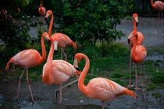 Flamingos no Tóquio do jardim zoológico de Ueno Fotografia de Stock
