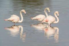 Flamingos. A flamingos in Olbia`s gulf Royalty Free Stock Photo