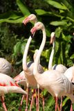 Flamingos in the open zoo Stock Image
