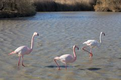 Flamingos in the ornithological park of the bridge of Gau near the pond of Gines with Saintes Maries of the Sea in Camargue in Bou. Fauna, natural, colorful royalty free stock image