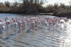 Flamingos in the ornithological park of the bridge of Gau near the pond of Gines with Saintes Maries of the Sea in Camargue in Bou. Ches du Rhône in France stock images
