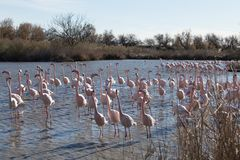 Flamingos in the ornithological park of the bridge of Gau near the pond of Gines with Saintes Maries of the Sea in Camargue in Bou. Ches du Rhône in France stock photography