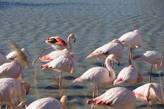 Flamingos in the ornithological park of the bridge of Gau near the pond of Gines with Saintes Maries of the Sea in Camargue in Bou. Ches du Rhône in France stock photo
