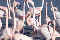 Flamingos in the ornithological park of the bridge of Gau near the pond of Gines with Saintes Maries of the Sea in Camargue in Bou. Ches du Rhône in France royalty free stock photography