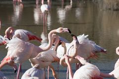Flamingos in the ornithological park of the bridge of Gau near the pond of Gines with Saintes Maries of the Sea in Camargue in Bou. Ches du Rhône in France royalty free stock photos