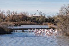 Group of flamingos. Flamingos in the ornithological park of the bridge of Gau near the pond of Gines with Saintes Maries of the Sea in Camargue in Bouches du Rh royalty free stock photos