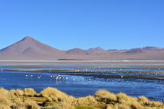 Flamingos and other birds on a lake in Bolivia Royalty Free Stock Photo