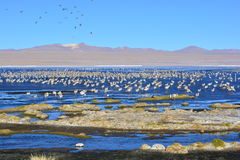 Flamingos and other birds on a lake in Bolivia Stock Images