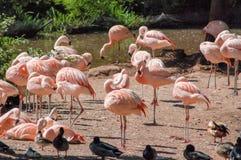Flamingos an Paignton-Zoo in Devon, Großbritannien Lizenzfreie Stockfotos