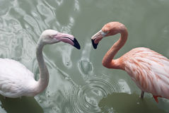 Flamingos pair Stock Photos