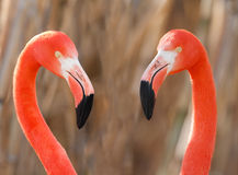 Flamingos pair. Flamingo pair eye to eye, close up, love Stock Photos