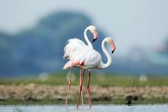 Flamingos. A pair of flamingo wearing the white dress completely in love with eachother Royalty Free Stock Photos