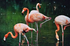 Flamingos in the park of Barcelona Stock Photography