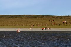 Flamingos in Patagonia, Argentina Royalty Free Stock Photos