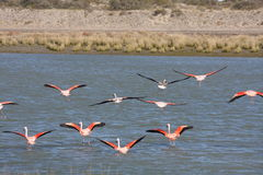 Flamingos patagonian Foto de Stock Royalty Free