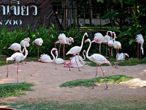 Flamingos in Pattaya-Zoo, Thailand Lizenzfreie Stockfotos