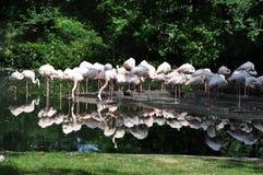 Flamingos pela água Imagens de Stock Royalty Free