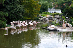 Flamingos and pelicans in the zoo Royalty Free Stock Images